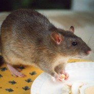 Winter Rat and Mouse Control