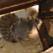 Squirrel, Raccoon Removal – Call 519 650-2025